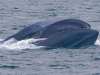 condor_express_blue_whale_lunge_feeding
