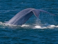 condor_express_blue_whale_tail