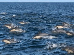 condor_express_common-dolphins-group