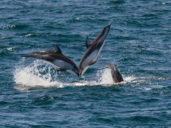 condor_express_white-sided-dolphins-leap