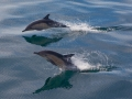 condor_express_common-dolphins-leaping