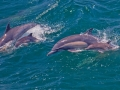 condor_express_common_dolphin_mom_calf