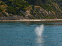 condor_express_gray_whale_coastal