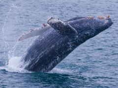 condor_express_humpback_whale_breach_2