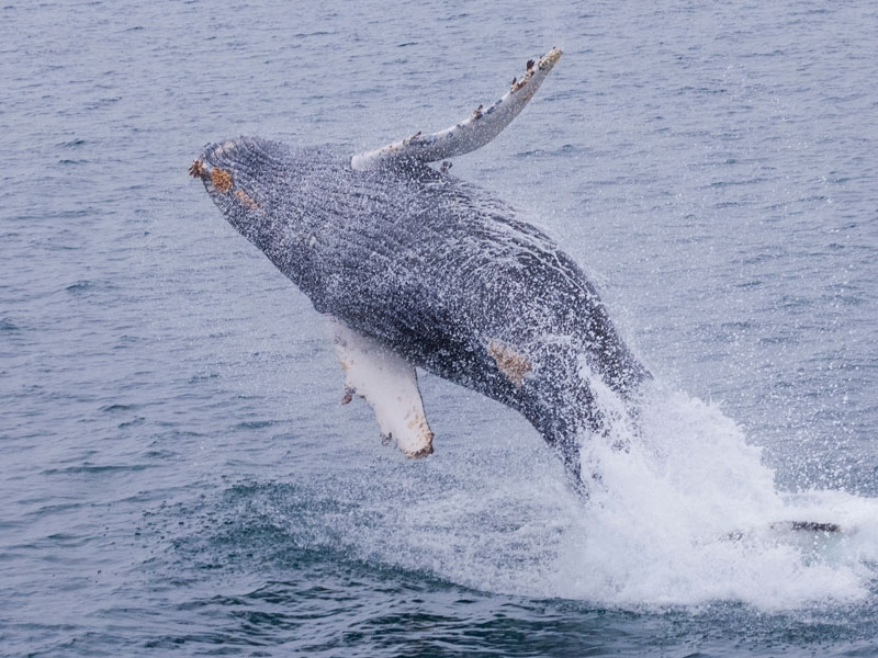 condor_express_humpback_whale_breaching