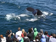 condor_express_humpback_whale_diving