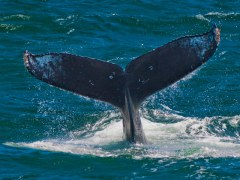 condor_express_humpback_whale_tail