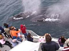 condor_express_humpback_whales_two_visit