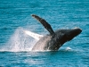 condor_express_humpback_whale_breach_1