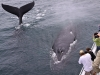 condor_express_humpback_whales_two_visitors