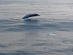minke-whale-breach-2009-10-24