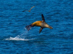 condor-express-sea-lion-leaping