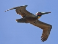 condor-express-brown-pelican