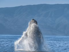 Humpback-Breach-Closeup