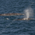 2 nice gray whales and a lot of dolphins