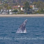 12 Gray Whales & Some Breaching