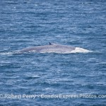 OUR FIRST BIG BLUE WHALE OF THE SEASON.  THEY'VE BEEN AROUND, BUT WE'VE HAD SO MUCH GOING ON WITH THOSE CRAZY HUMPBACKS...    OH, BY THE WAY,  THE HUMPBACKS WERE CRAZY AGAIN TODAY