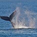 A MONSTRO HUMPBACK BREACHED A BUNCH OF TIMES (SEE OUR PHOTO WEBSITE) AND THEN THREW ITS TAIL AROUND TOO