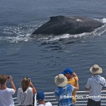 THERE ARE NOT MANY PLACES IN THE WORLD WHERE YOU CAN GET THIS CLOSE TO A HUGE WILD HUMPBACK WHALE.   THIS IS A FRIENDLY ENCOUNTER IN THE SANTA BARBARA CHANNEL TODAY.
