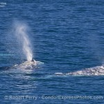 Humpbacks, Gray Whales and Dolphins (and sun!)