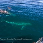 Another Super Pod of Gray Whales !