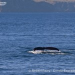 Humpback whales abound
