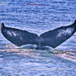 Summerlike weather with humpback whales and a fin
