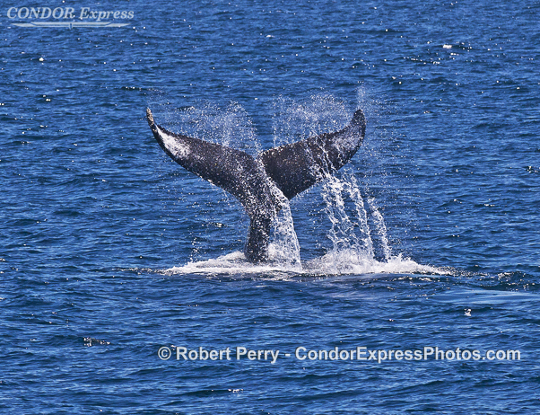 Whale Tails From Humpback Whales