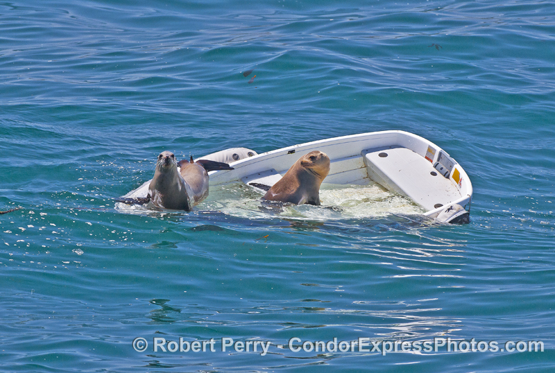 Sea lions sink a boat in the East Beach anchorage