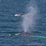 Humpback whale spouts with leaping common dolphin in background