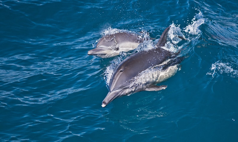 Long-beaked Common Dolphin Cow and Calf